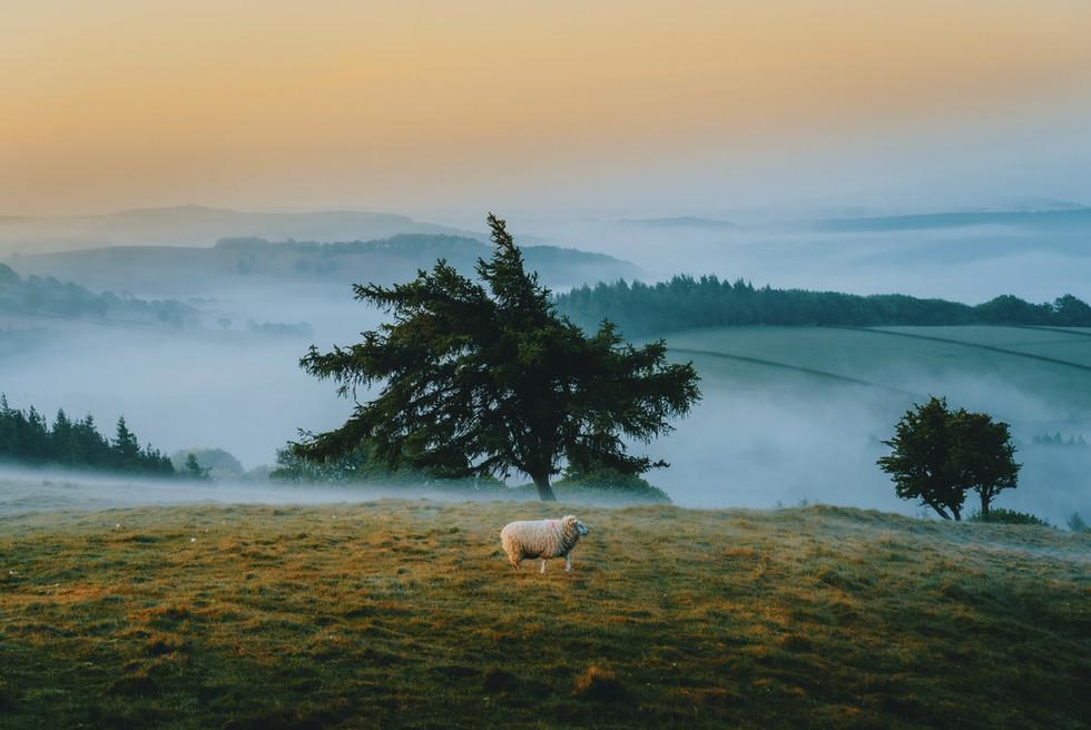 Lone Sheep
