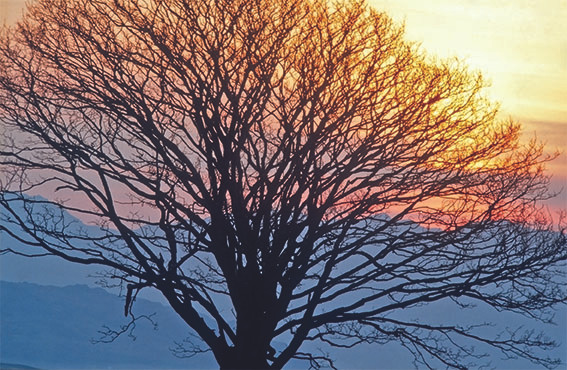 Sycamore at sunrise