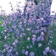 Harebells and stone post