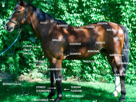 Anatomia del cavallo: nozioni base.