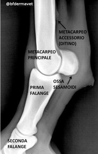 Anatomia cavallo radiografia ossa nodello, falange, stinco, metacarpo, pastorale, ditino