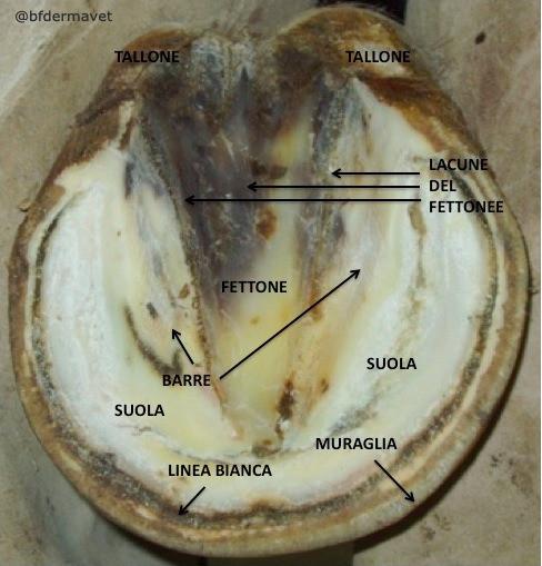 Anatomia cavallo piede suola, fettone, talloni, linea bianca, barre, muraglia
