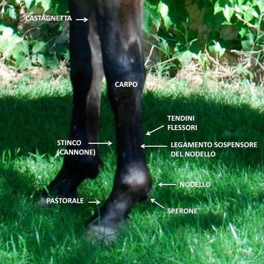 Cavallo antomia arti stico nodelo pastorale carpo tendini sospensore