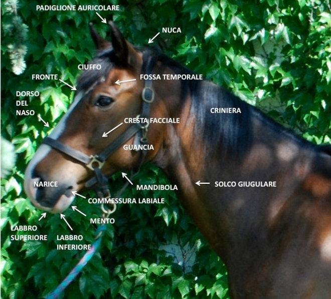 Cavallo anatomia testa collo