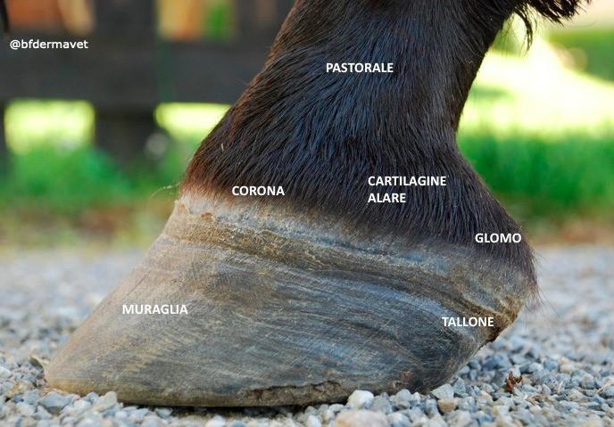 Anatomia cavallo zoccolo, piede, muraglia, corona, glomi, talloni, pastorale