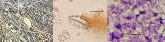 Pidocchi cavallo, parassiti, infezione