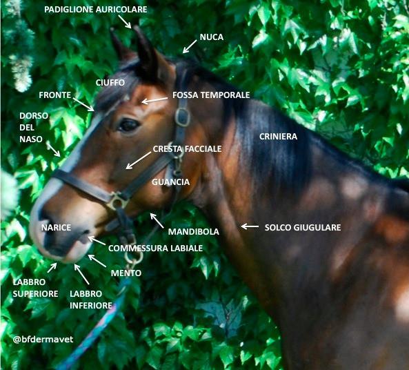 Anatomia cavallo testa e collo, naso narice, guancia, fronte, mandibola, nuca, orecchie