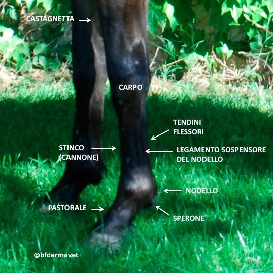 Anatomia cavallo, nodello, stinco, pastorale, tendini, legamento sospensore, carpo, sperone, castagnetta