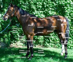 Anatomia cavallo