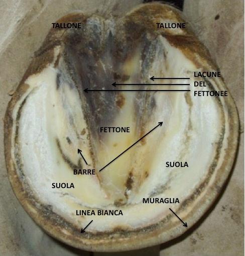 Cavallo anatomia piede zoccolo suola fettone