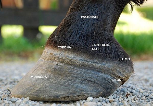 Cavallo anatomia piede zoccolo corona