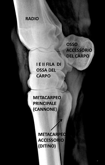 Cavallo anatomia radiografia arti ossa