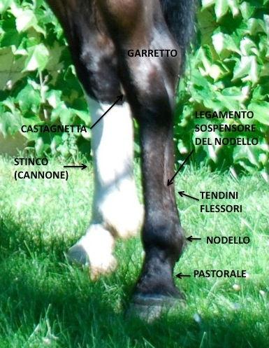 Cavallo anatomia arti stinco nodello garretto pastorale tendini sospensore