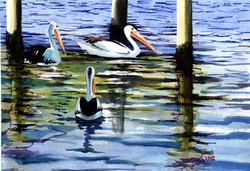Tweed Pelicans.jpg