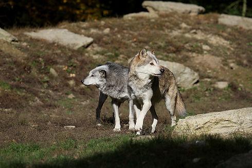 wolves-2907876_1920.jpg