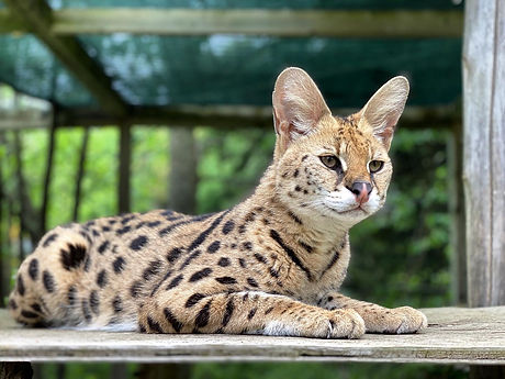 Tanzi the Serval.jpg