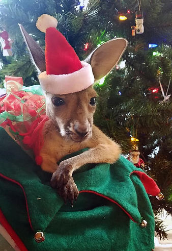 Kangaroo in stocking.jpg