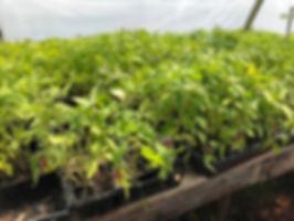 tomato plants.jpg
