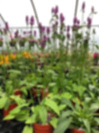 Perennialsa.jpg