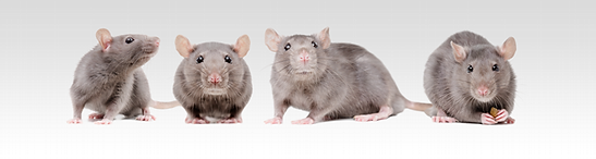 rats_large.png