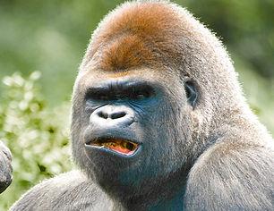 gorilla head10.jpg
