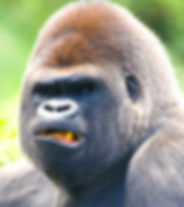 gorilla head3.jpg