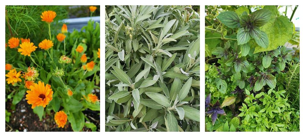 Terrasse, Kräuter, Ringelblume, Salbei und Basilikum, katharina rührt