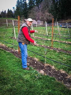 Dancing Fish Vineyards - Brad Thompson tending vines
