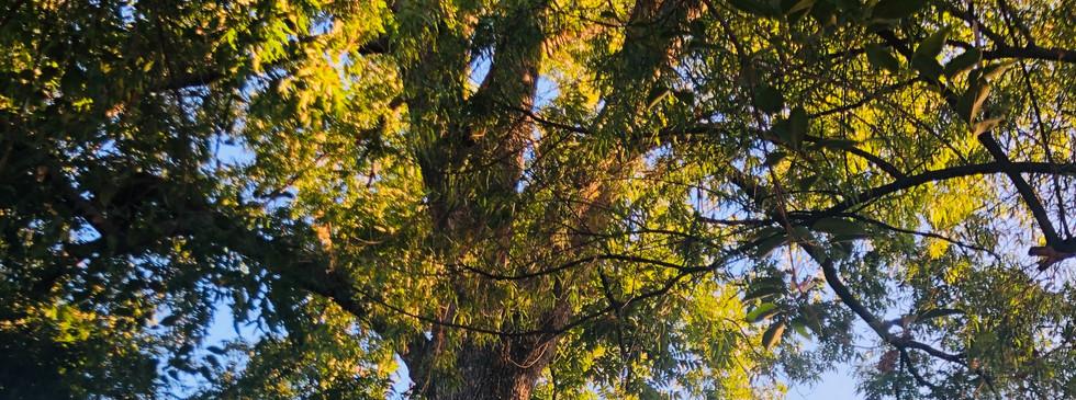Historic Pecan Tree Provides an Umbrella of Shade