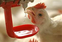 chicken drinking water