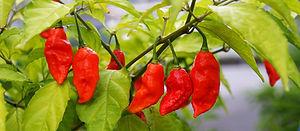 Bhut Jolokia Chili für die Sauce