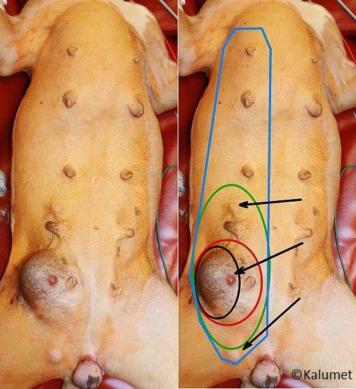 Apivet formation conseils stérilisation chienne