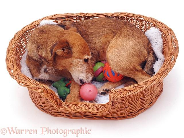 Apivet formation conseils en reproduction canine, ici la lactation nerveuse