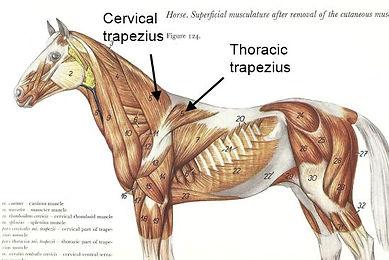 Equine Anatomy