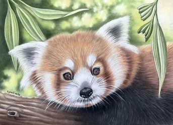 Wildlife portrait Red Panda