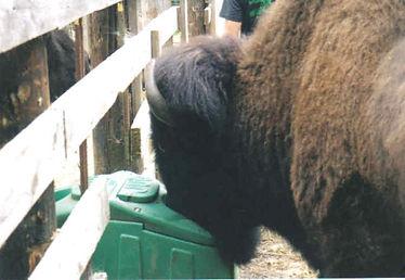 buffalo nh.jpg