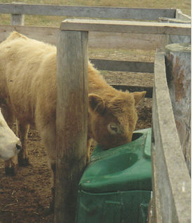 feedlot calf.jpg