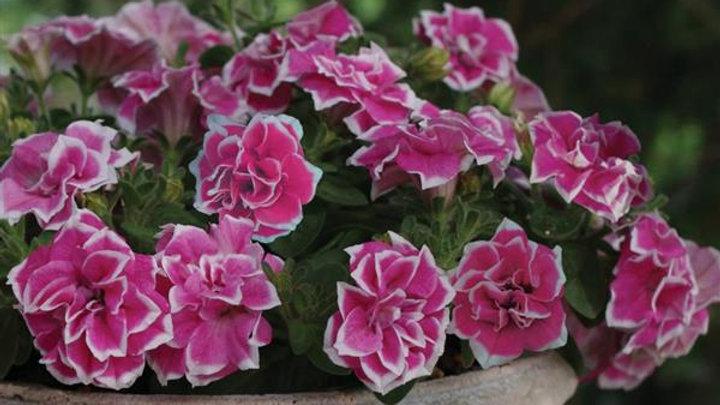 Petunia Pink Diamond
