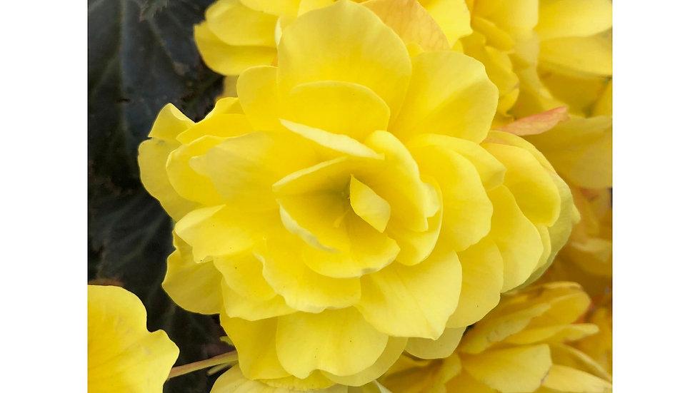Begonia-I-conia Portofino Yellow