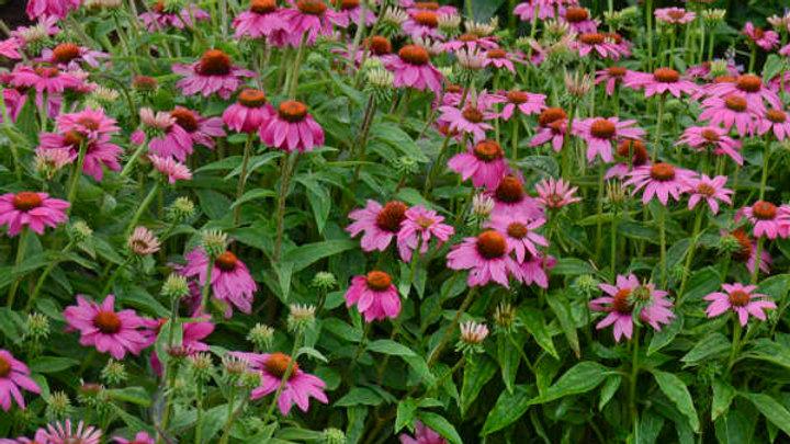 Perennial:  Echinacea-pow wow wild berry