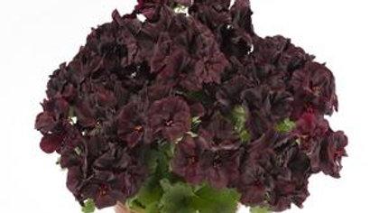 Geranium-Aristo Black Velvet