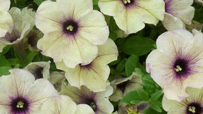 Petunia-Crazytunia (2 types)