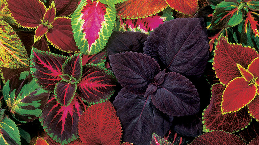 Coleus-Exhibition Mix