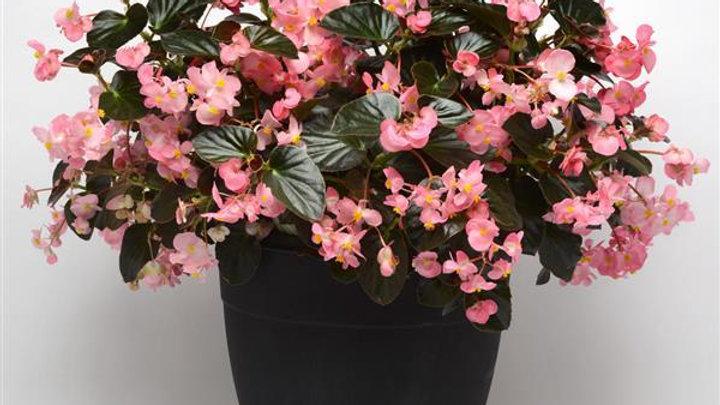 Begonia-Megawatt