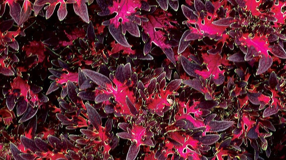 Coleus-Wildfire Smokey Rose