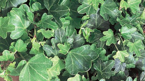 Ivy-Duckfoot