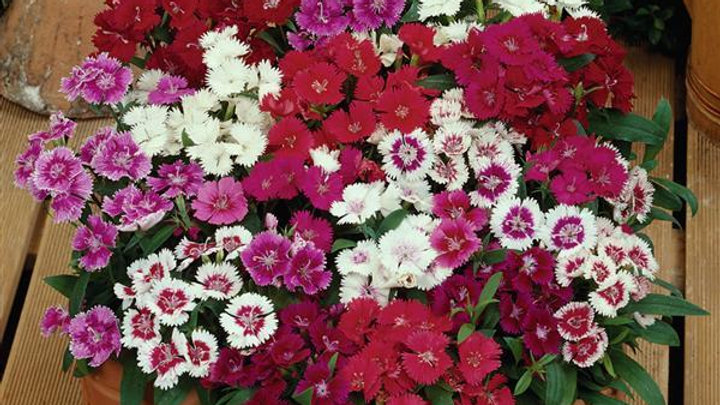 Dianthus-Mixed Colors