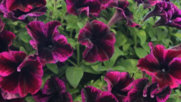 Petunia-Crazytunia Cosmic Purple
