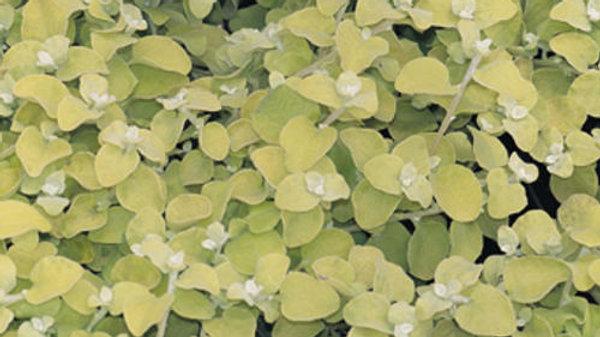 Helichrysum-Petiolare Lemon Licorice
