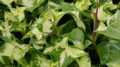 German Ivy-Wax Leaf Variegated